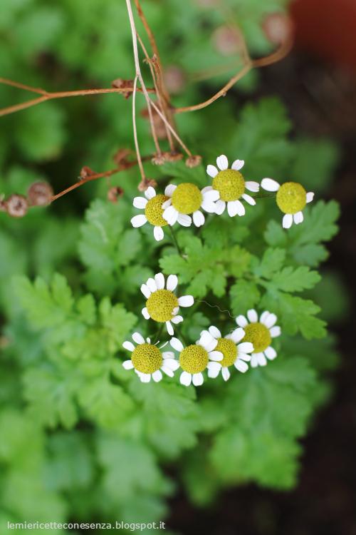 chrisanthemum partenium, partenio
