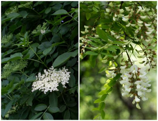 Tempura di fiori d'acacia e di sambuco