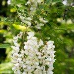 I fiori di robinia o acacia