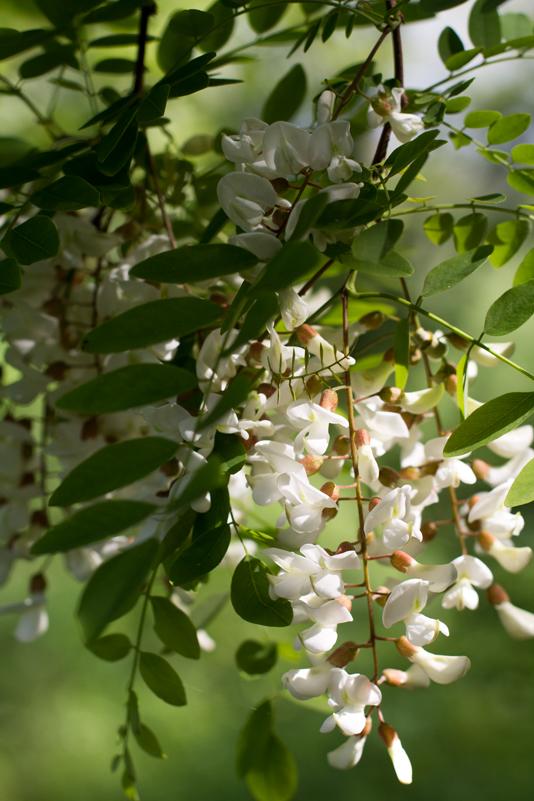 ricette fiori di robinia