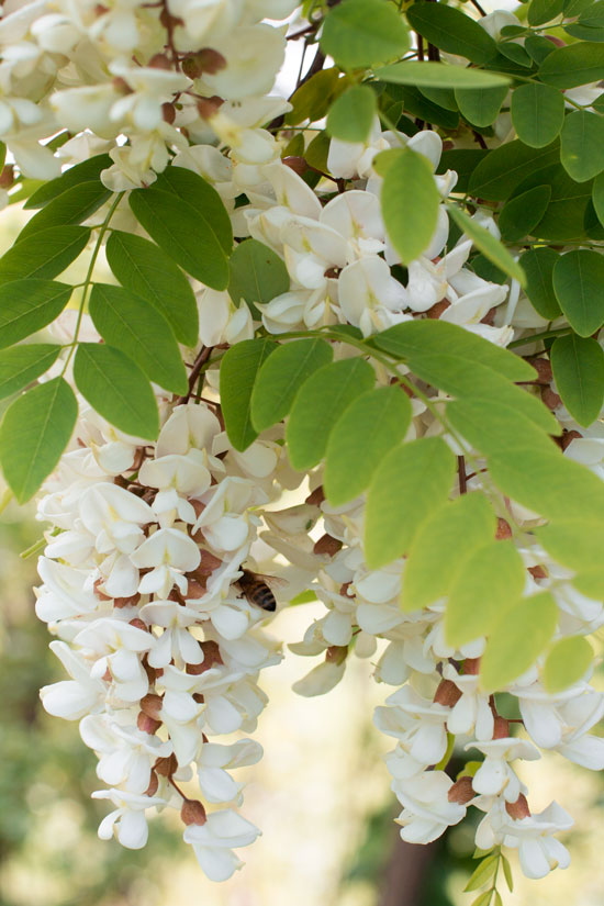 fiori-d'acacia