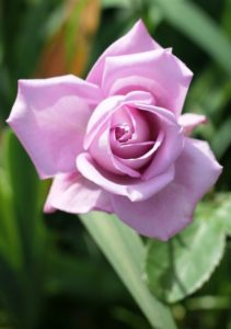 fiori commestibili
