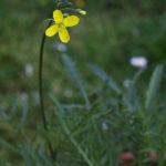 Fiori commestibili, quali sono i fiori eduli e come si mangiano