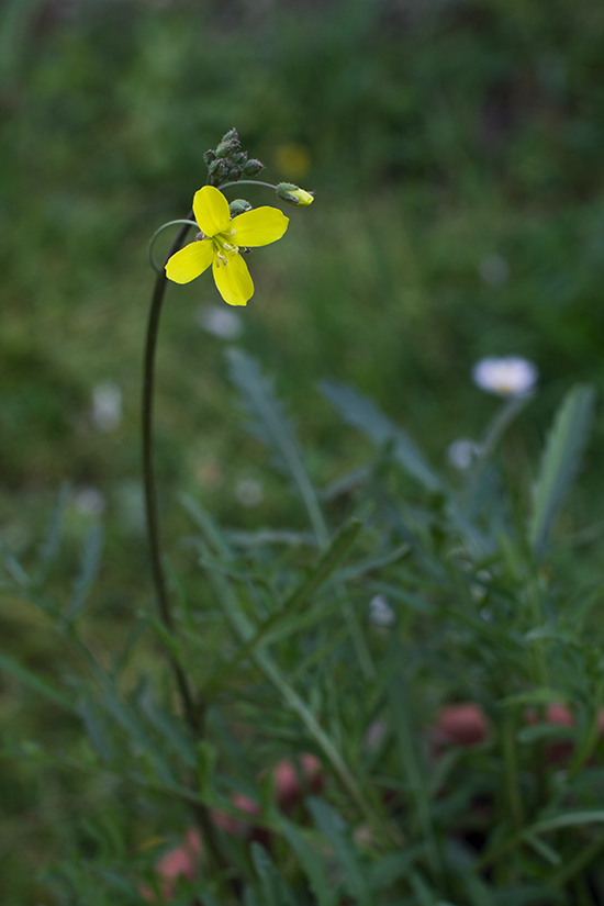 fiori di rucola