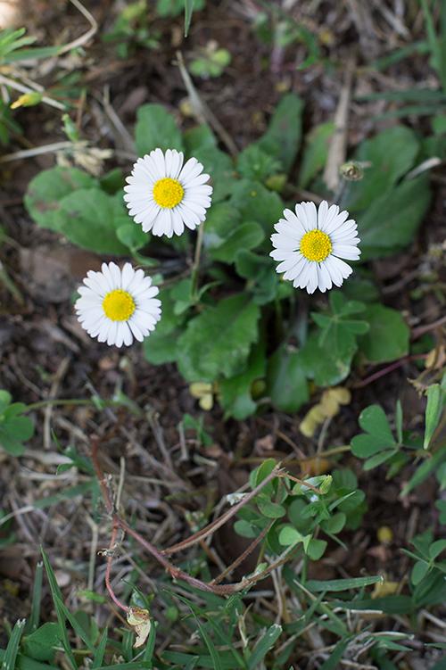 Margheritine fiori commestibili