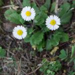Le pratoline, fiori commestibili
